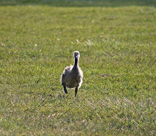 #Baby goose #Birds #Baby birds # Goose #Spring #Running #Mom photo