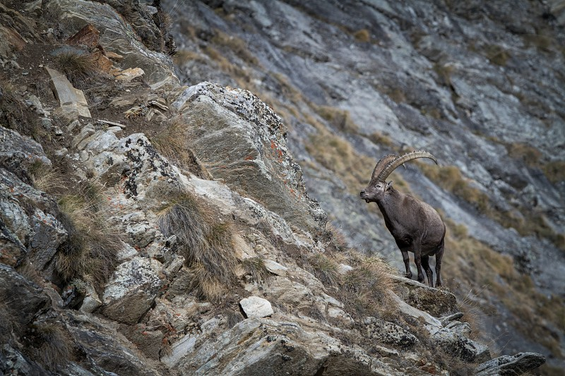 Alpine Ibex Capra ibex with rocks in background National Park Gran Paradiso Italy. Autumn in the mountain. Magnificent mammal with horns on the rock herbivorous wildlife scene from nature photo