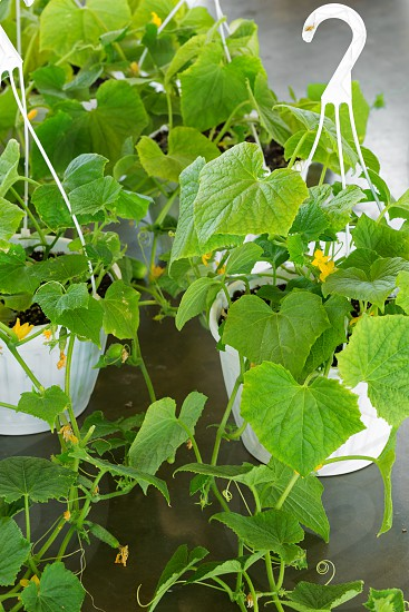 Squash plants in hanging containers for sale at a local market photo