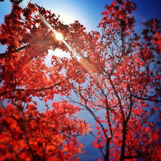 orange leaves tall tree photo