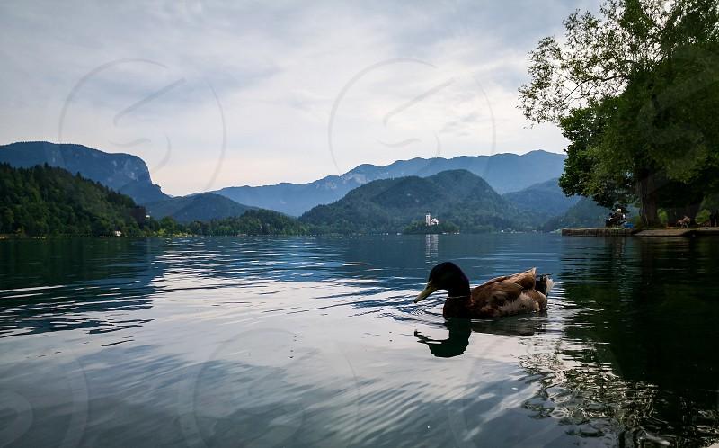 green necks ducks swimming over the bled lake photo