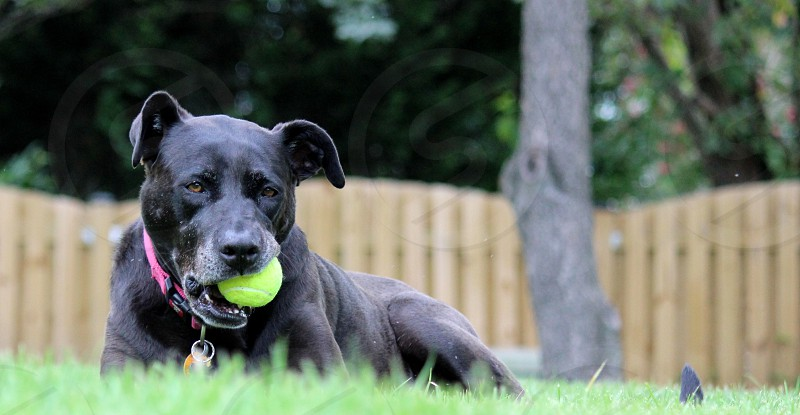 Dog with Ball  photo