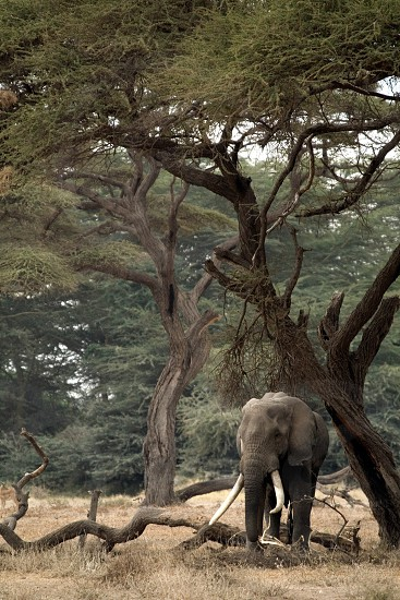 grey elephant on brown grass under green acacia tree during daytime photo
