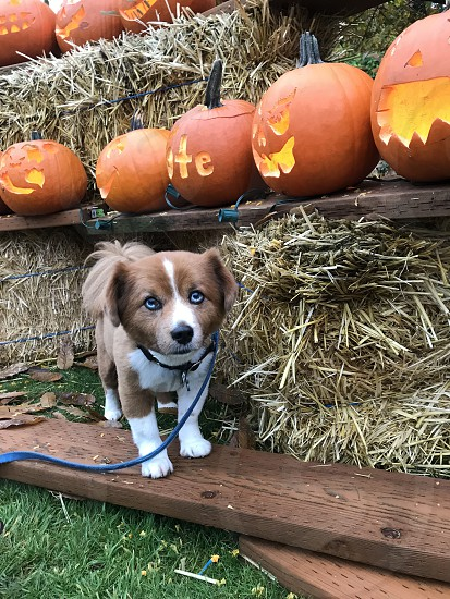 My dog and some pumpkins photo