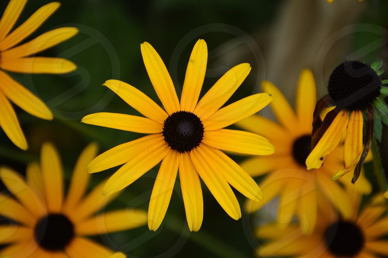 selective focus photography of yellow 13-petaled flower with black stigma photo