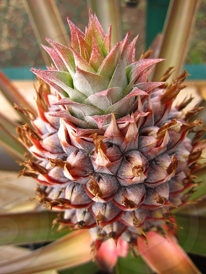 pineapple on plant photo
