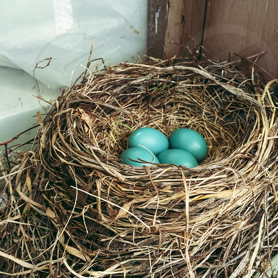 Four blue robin eggs resting in a window frame nest. photo