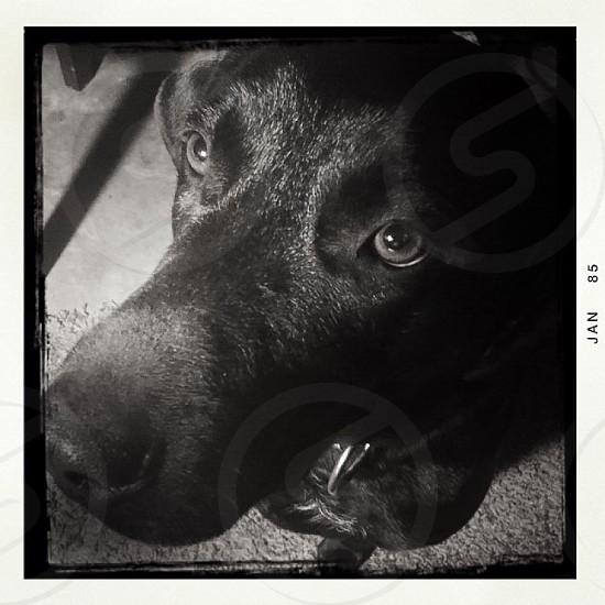Black lab dog face photo