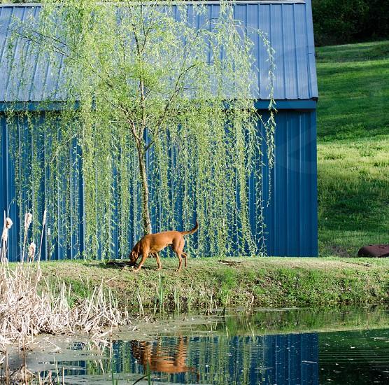 Reflections farm dog pond photo