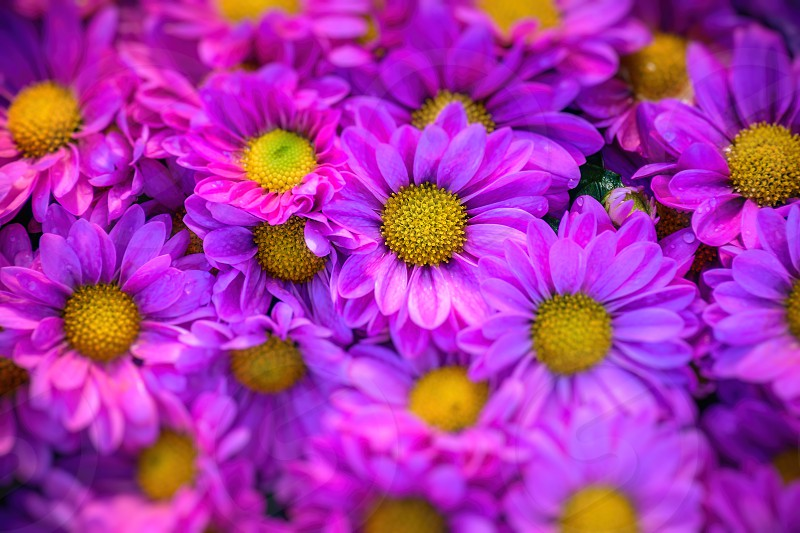 violetflowerblossomsfloralbotanymacrogardenleavesspringbeautifulcolorsnaturalnaturecolorful  photo