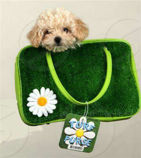 Pinky the Poodle Puppy Traveling in the Lawn Purse photo
