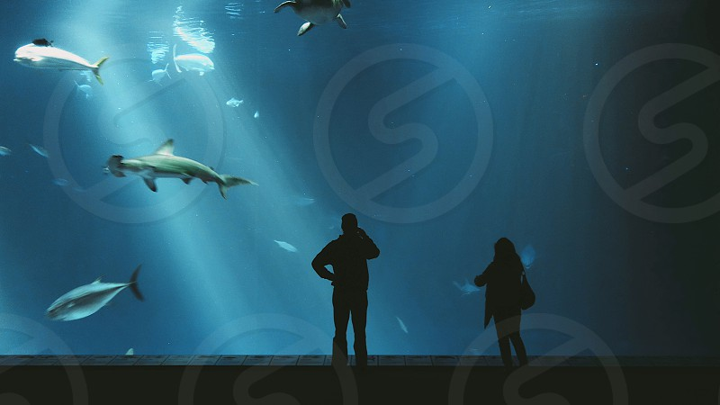 white hammerhead shark photo
