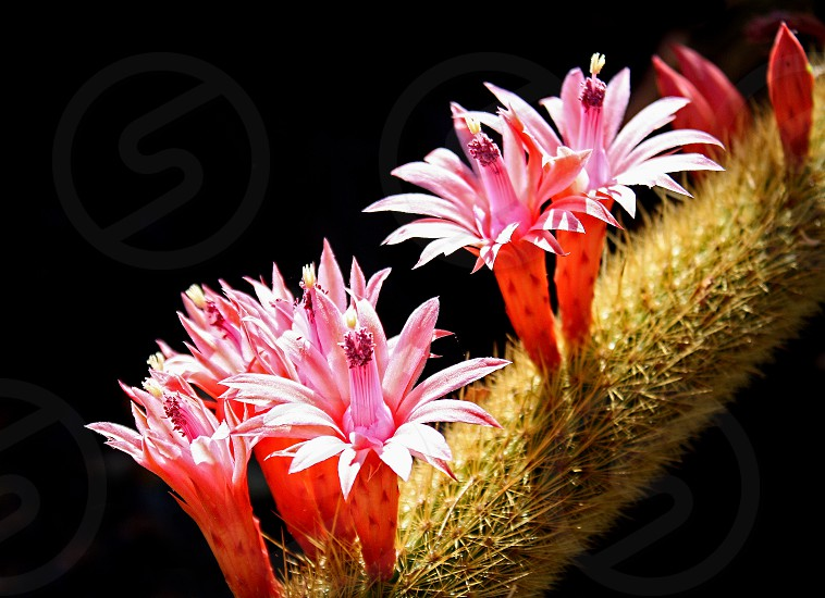 Macro image of pink cactus flowers photo