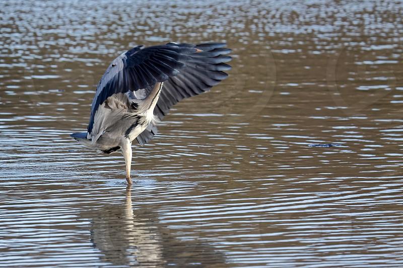 Grey Heron Fishing photo