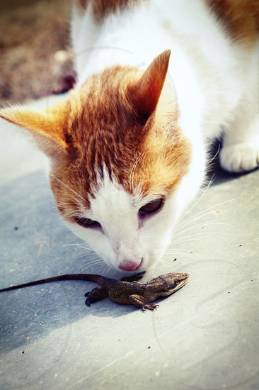 white and brown cat with lizard photo