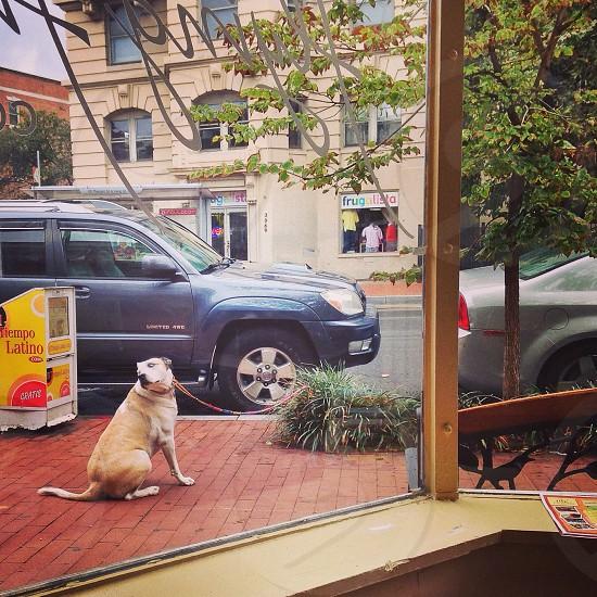 adult yellow Labrador retriever beside gray SUV near buildings at daytime photo