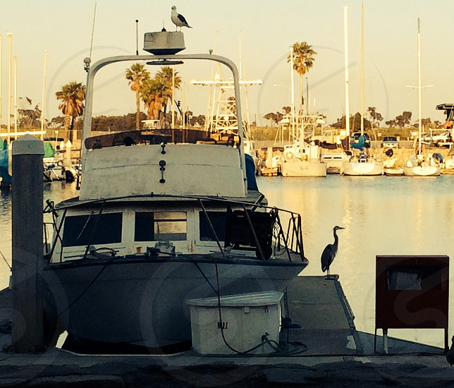 Crane stalking an eel at Channel Islands Harbor CA photo