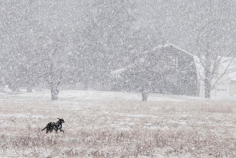 black dog running through filed in major blizzard photo