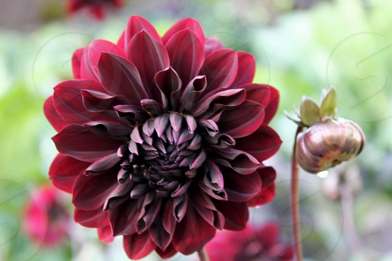 Summer Flowers - Gorgeous deep red flower photo