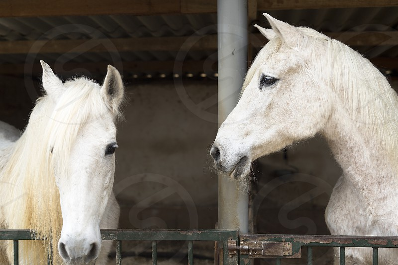 Two horses in a shelter in Rojales province of Alicante in Spain. photo