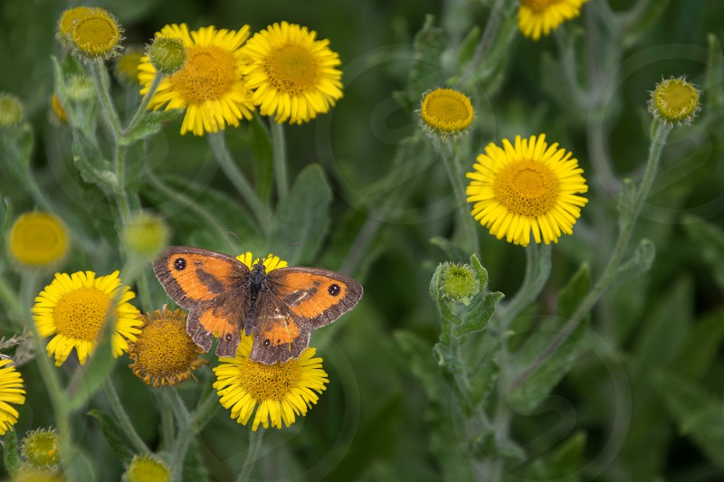 Gatekeeper feeding on a Common Fleabane (Pulicaria dysenterica) flowering near Ardingly Reservoir in Sussex photo