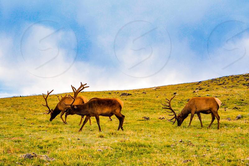 Rocky Mountain national park wildlife elks Colorado Usa national park of USA United States greens mountains family tour scenic destination of USA  photo