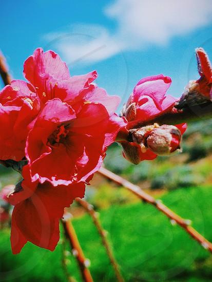 Flower cherry blossom nature plant maui hawaii photo