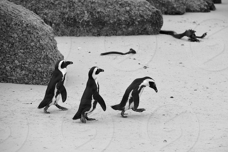 Penguin colony on boulder's beach in Simon's Town South Africa. photo
