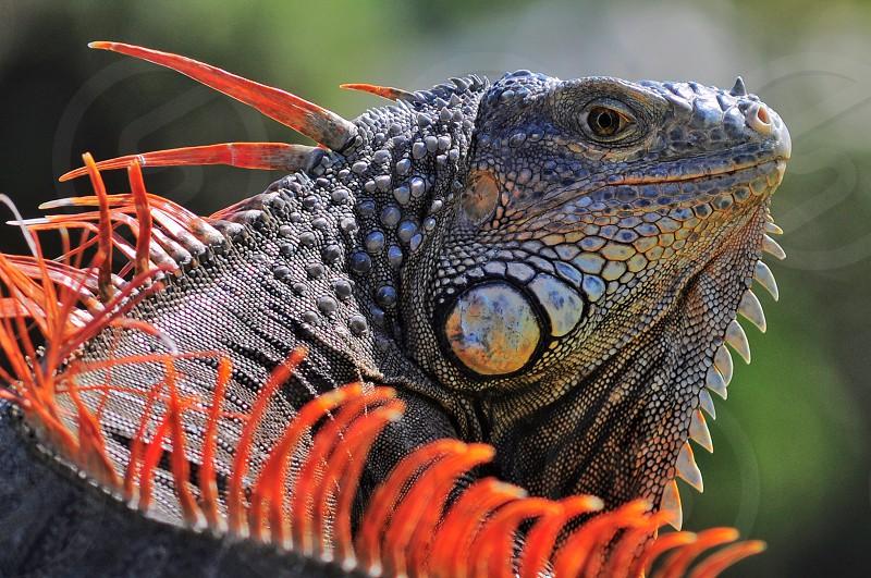 komodo dragon in the sun photo
