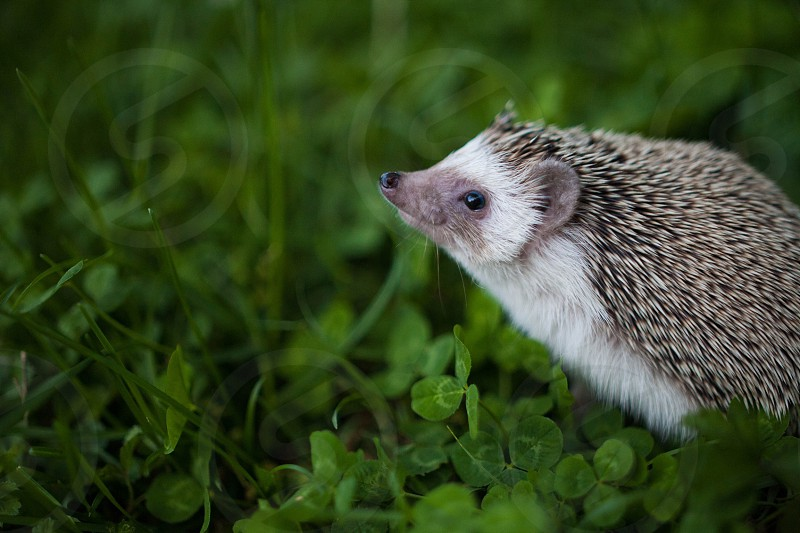 Hedgehog Woodrow Nashville animals wildlife  photo