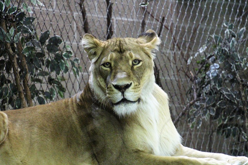 Lioness at the Zoo photo