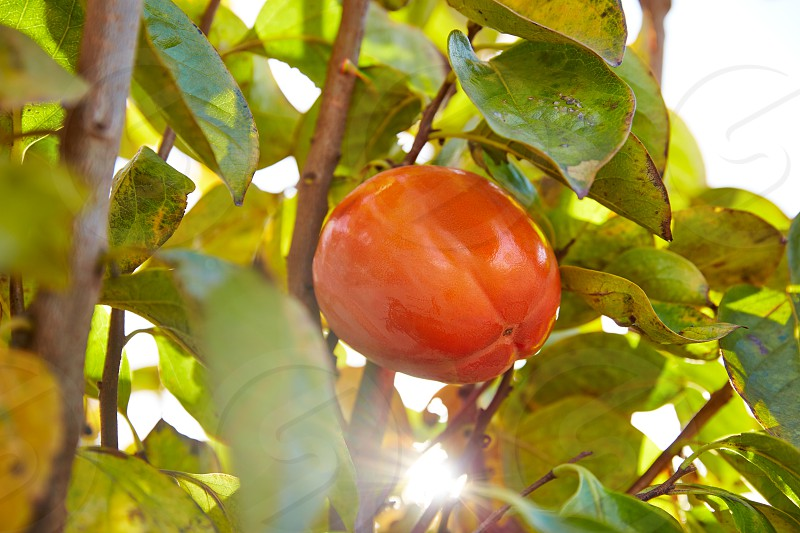 persimmon khaki fruit in the field tree with leafs photo