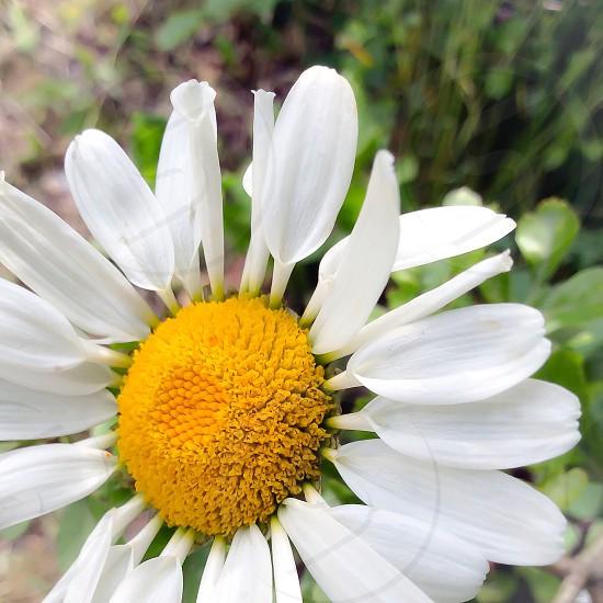 Daisy yellow white macro green background photo