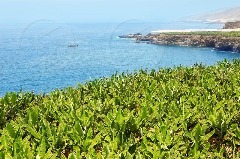 Canarian Banana plantation near the ocean in La Palma Canary Islands photo