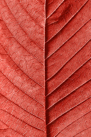 Macro photo of natural pattern of back side leaf with veins. Creative background in a trendy color of spring-summer 2019 season - Living Coral pantone . photo
