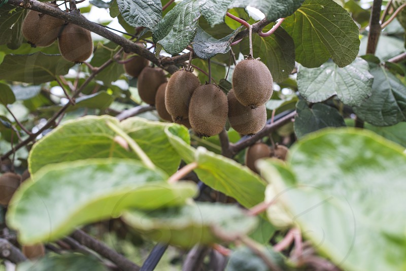 Kiwi plantation crops. Day light photo