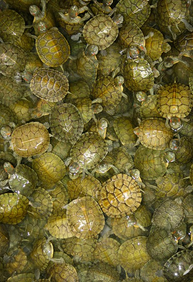 Small pool of turtles at a market in Nanning China. Turtles green market markets Nanning China travel photo