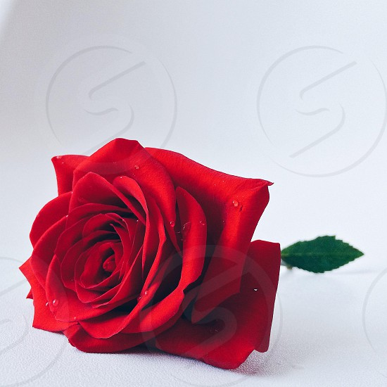 red rose flower photo