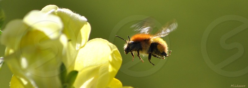 bee hovering on to a yellow petaled flower photo