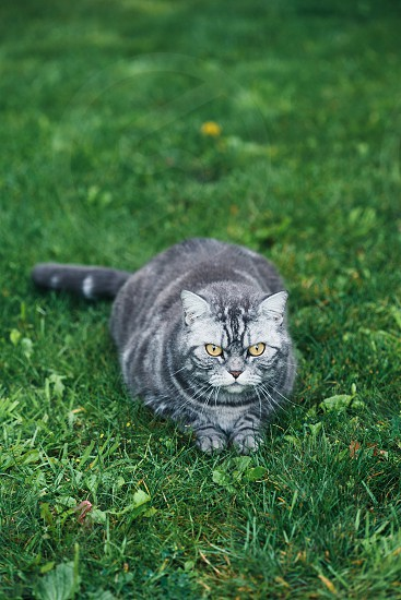 Grey cat sitting on a grass in a garden. Copy space room for text photo