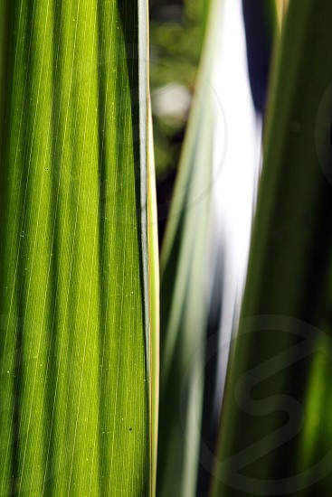 A green leave in backlight photo
