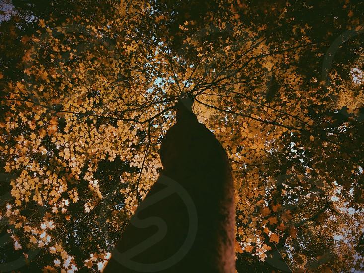 view into orange leaf tree from below photo