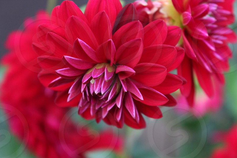 red flower in full bloom photo