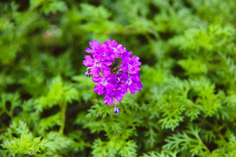 FlowerPurpleSingaporeVibrant photo