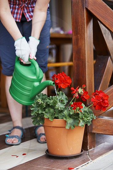 Woman watering flowers growing in flower pot pouring water from watering pot. Candid people real moments authentic situations photo