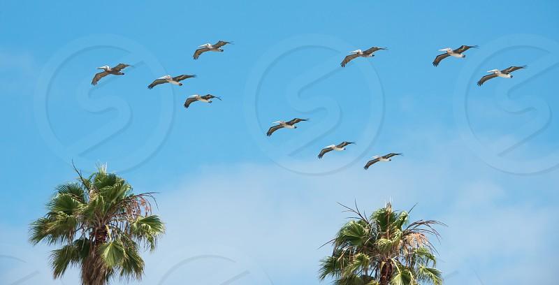 Palm trees & pelicans photo