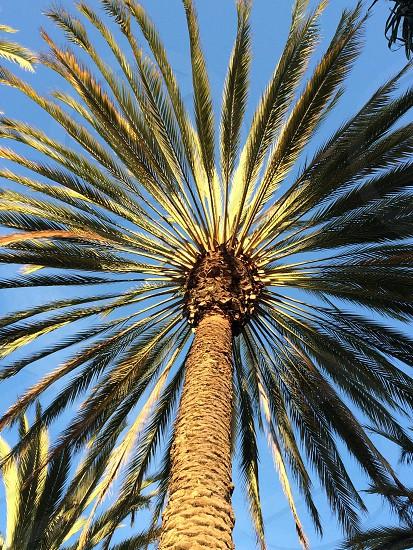 Palm tree California photo