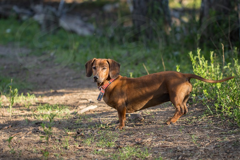 old dachshund looking intently photo