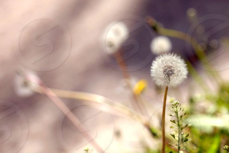 white dandelions photo