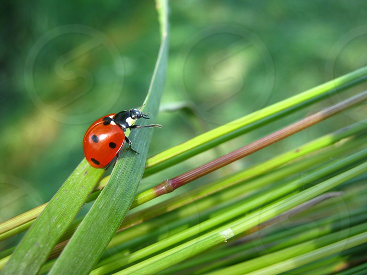 closeup photo of red ladybug perched on green leaf photo